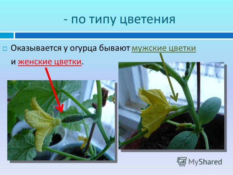 - по типу цветения Оказывается у огурца бывают мужские цветки и женские цветки.