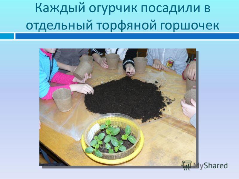 Каждый огурчик посадили в отдельный торфяной горшочек