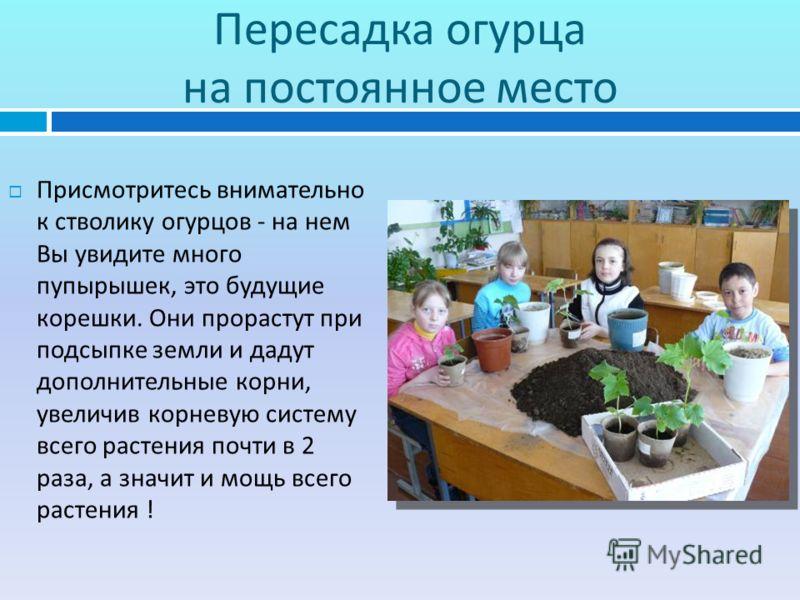 Пересадка огурца на постоянное место Присмотритесь внимательно к стволику огурцов - на нем Вы увидите много пупырышек, это будущие корешки. Они прорастут при подсыпке земли и дадут дополнительные корни, увеличив корневую систему всего растения почти