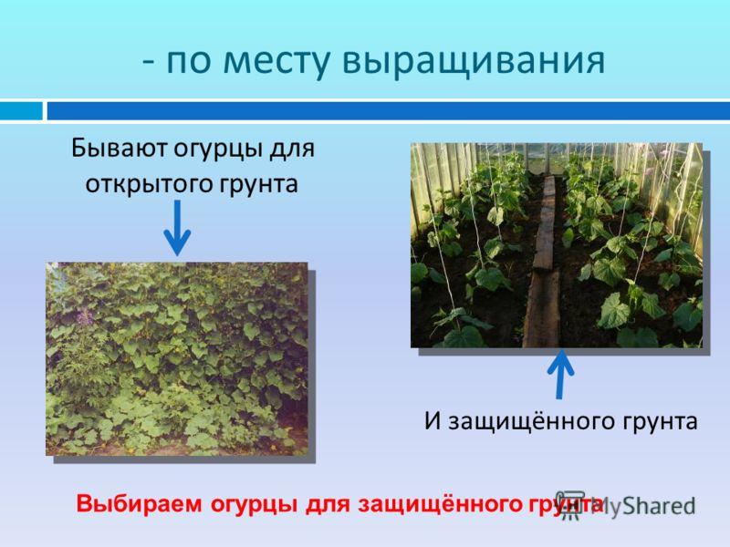 - по месту выращивания Бывают огурцы для открытого грунта И защищённого грунта Выбираем огурцы для защищённого грунта