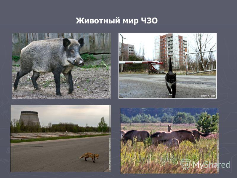 Животный мир ЧЗО