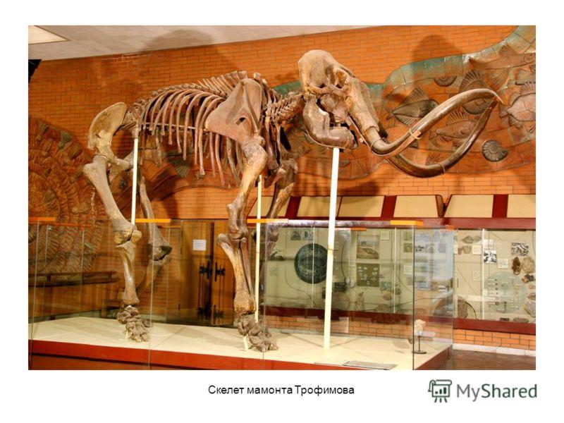 Скелет мамонта Трофимова