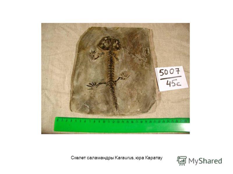 Скелет саламандры Karaurus, юра Каратау