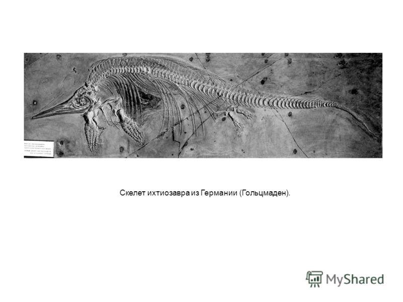 Скелет ихтиозавра из Германии (Гольцмаден).