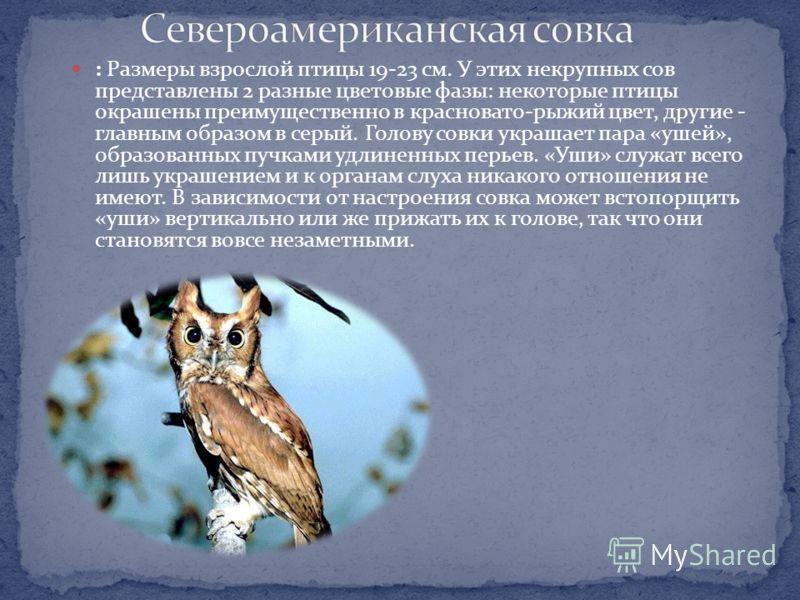 Размером почти с филина, размах крыльев примерно 140 см, Неярко окрашенная крупная сова с большой головой, заметным «лицом» и темным пятном под клювом. Полет кажется легким и мягким, но довольно медленным. Токовый крик напоминает вой. Распространение