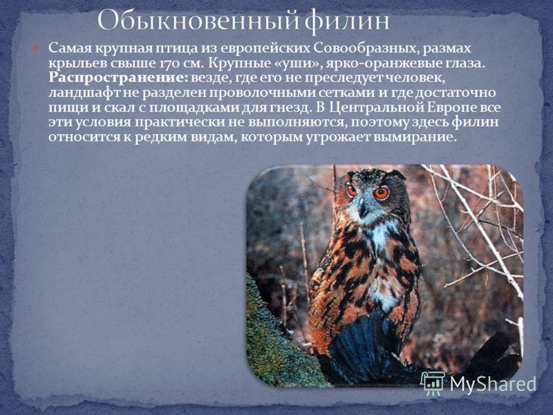 : Размеры взрослой птицы 19-23 см. У этих некрупных сов представлены 2 разные цветовые фазы: некоторые птицы окрашены преимущественно в красновато-рыжий цвет, другие - главным образом в серый. Голову совки украшает пара «ушей», образованных пучками у