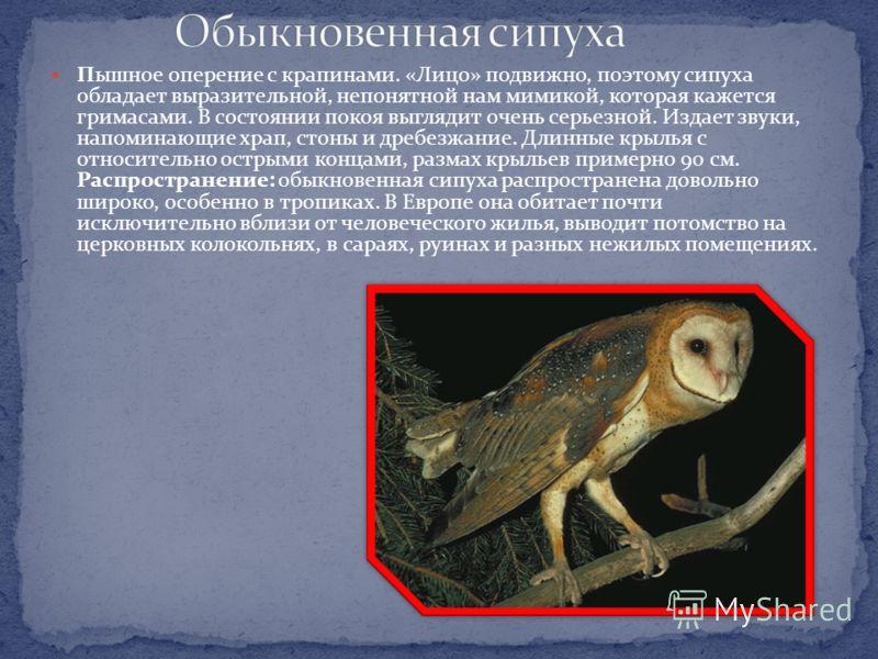 Чуть крупнее воробьиного сычика, размах крыльев 54 см. Крупная голова, пышное оперение, полет быстрый и прямолинейный. Исключительно ночная птица. Токовый крик трехсложный, напоминает крик удода. В случае опасности издает свист. Распространение: севе