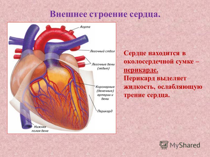 Внешнее строение сердца. Сердце находится в околосердечной сумке – перикарде. Перикард выделяет жидкость, ослабляющую трение сердца.