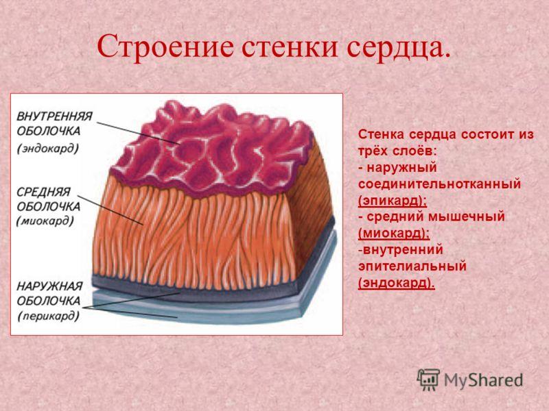 Строение стенки сердца. Стенка сердца состоит из трёх слоёв: - наружный соединительнотканный (эпикард); - средний мышечный (миокард); -внутренний эпителиальный (эндокард).