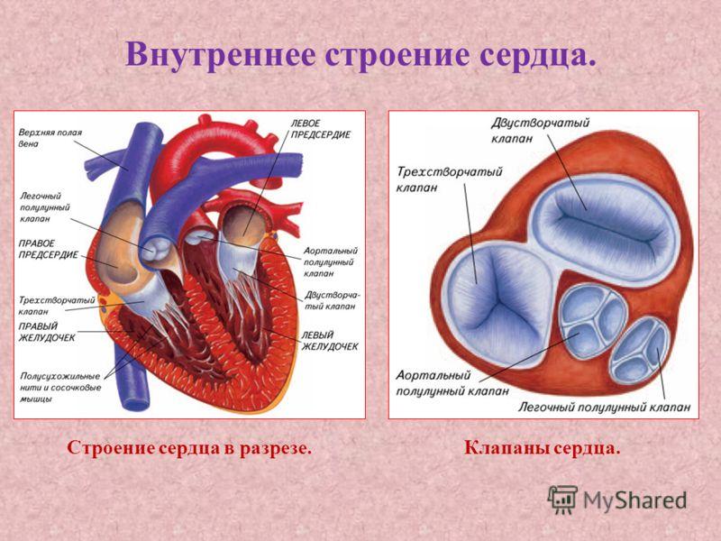 Внутреннее строение сердца. Строение сердца в разрезе.Клапаны сердца.