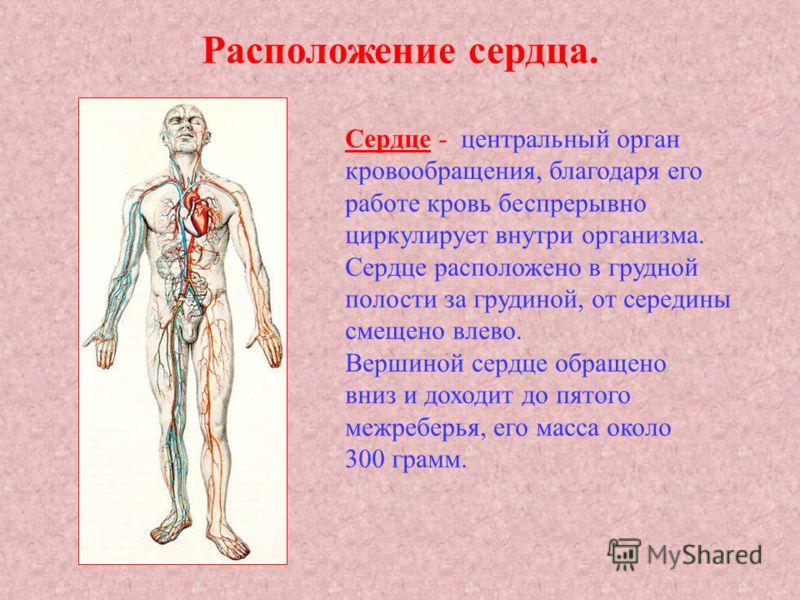 Расположение сердца. Сердце - центральный орган кровообращения, благодаря его работе кровь беспрерывно циркулирует внутри организма. Сердце расположено в грудной полости за грудиной, от середины смещено влево. Вершиной сердце обращено вниз и доходит