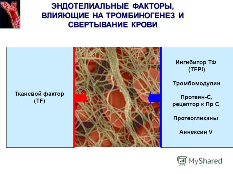 ЭНДОТЕЛИАЛЬНЫЕ ФАКТОРЫ, ВЛИЯЮЩИЕ НА ТРОМБИНОГЕНЕЗ И СВЕРТЫВАНИЕ КРОВИ Тканевой фактор (TF) Ингибитор ТФ (TFPI) Тромбомодулин Протеин-C, рецептор к Пр C Протеогликаны Аннексин V