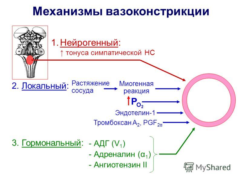 Механизмы вазоконстрикции 1.Нейрогенный: тонуса симпатической НС 2. Локальный: Растяжение сосуда Миогенная реакция Р О2О2 Эндотелин-1 Тромбоксан А 2, PGF 2α 3. Гормональный: - АДГ (V 1 ) - Адреналин (α 1 ) - Ангиотензин II
