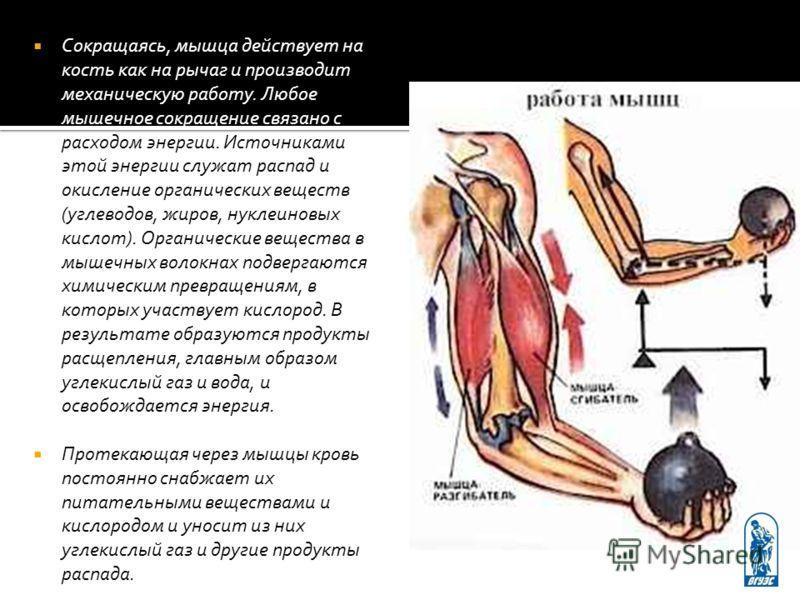 Сокращаясь, мышца действует на кость как на рычаг и производит механическую работу. Любое мышечное сокращение связано с расходом энергии. Источниками этой энергии служат распад и окисление органических веществ (углеводов, жиров, нуклеиновых кислот).