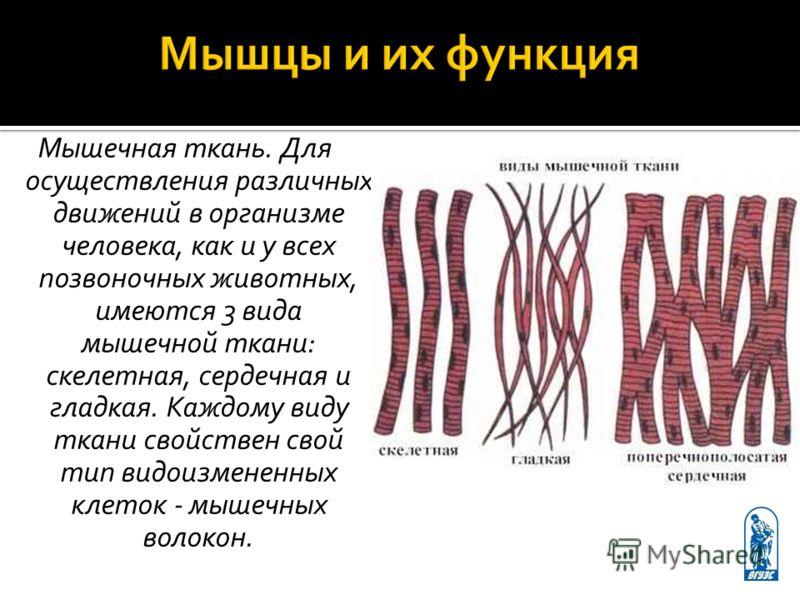 Мышечная ткань. Для осуществления различных движений в организме человека, как и у всех позвоночных животных, имеются 3 вида мышечной ткани: скелетная, сердечная и гладкая. Каждому виду ткани свойствен свой тип видоизмененных клеток - мышечных волоко