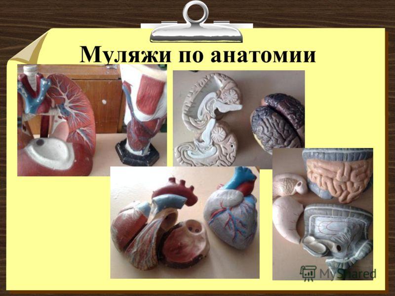 Муляжи по анатомии