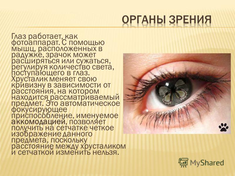 Глаз работает, как фотоаппарат. С помощью мышц, расположенных в радужке, зрачок может расширяться или сужаться, регулируя количество света, поступающего в глаз. Хрусталик меняет свою кривизну в зависимости от расстояния, на котором находится рассматр