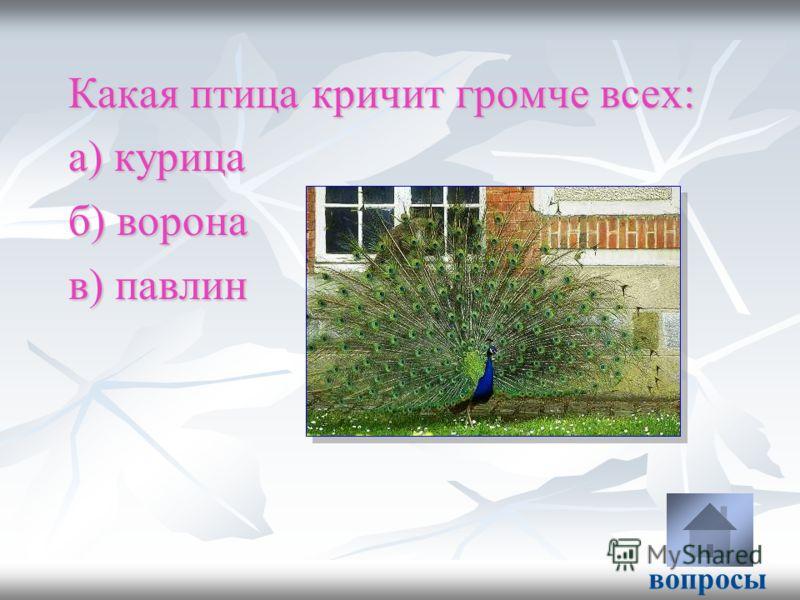 Какая птица кричит громче всех: а) курица б) ворона в) павлин вопросы