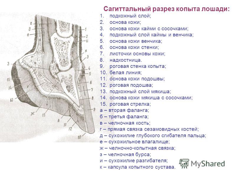 Сагиттальный разрез копыта лошади: 1.подкожный слой; 2.основа кожи; 3.основа кожи кайми с сосочками; 4.подкожный слой каймы и венчика; 5.основа кожи венчика; 6.основа кожи стенки; 7.листочки основы кожи; 8.надкостница. 9.роговая стенка копыта; 10.бел