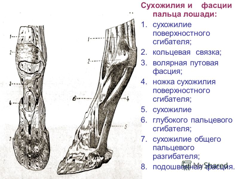 Сухожилия и фасции пальца лошади: 1.сухожилие поверхностного сгибателя; 2.кольцевая связка; 3.волярная путовая фасция; 4.ножка сухожилия поверхностного сгибателя; 5.сухожилие 6.глубокого пальцевого сгибателя; 7.сухожилие общего пальцевого разгибателя