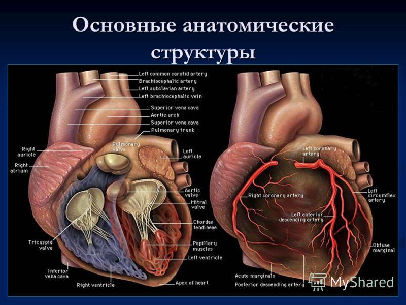 Основные анатомические структуры