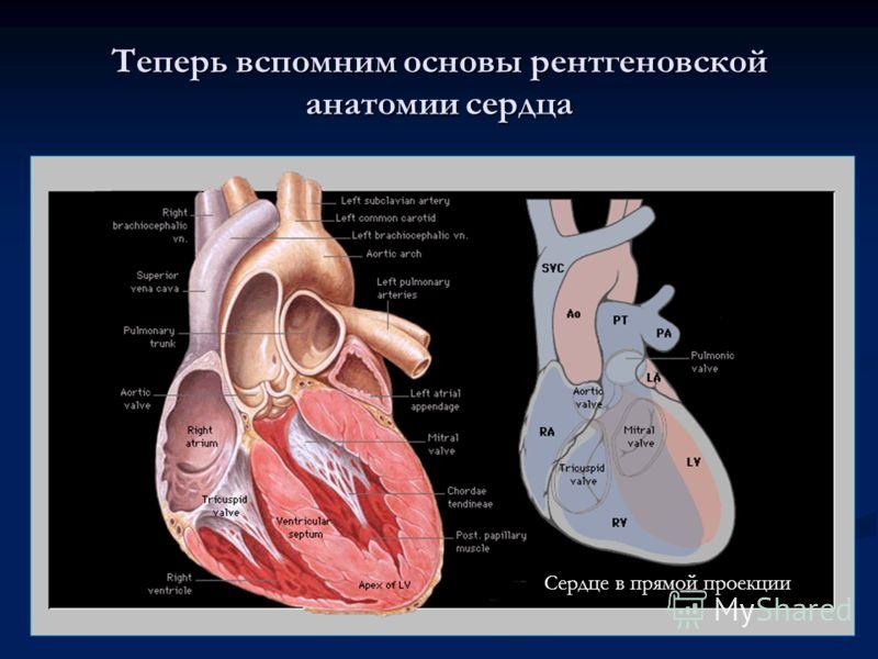 Теперь вспомним основы рентгеновской анатомии сердца Сердце в прямой проекции