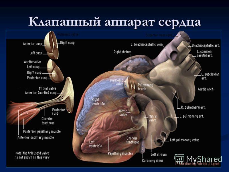 Клапанный аппарат сердца