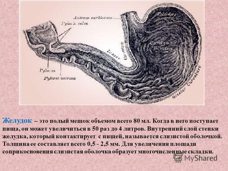 Желудок – это полый мешок объемом всего 80 мл. Когда в него поступает пища, он может увеличиться в 50 раз до 4 литров. Внутренний слой стенки желудка, который контактирует с пищей, называется слизистой оболочкой. Толщина ее составляет всего 0,5 - 2,5