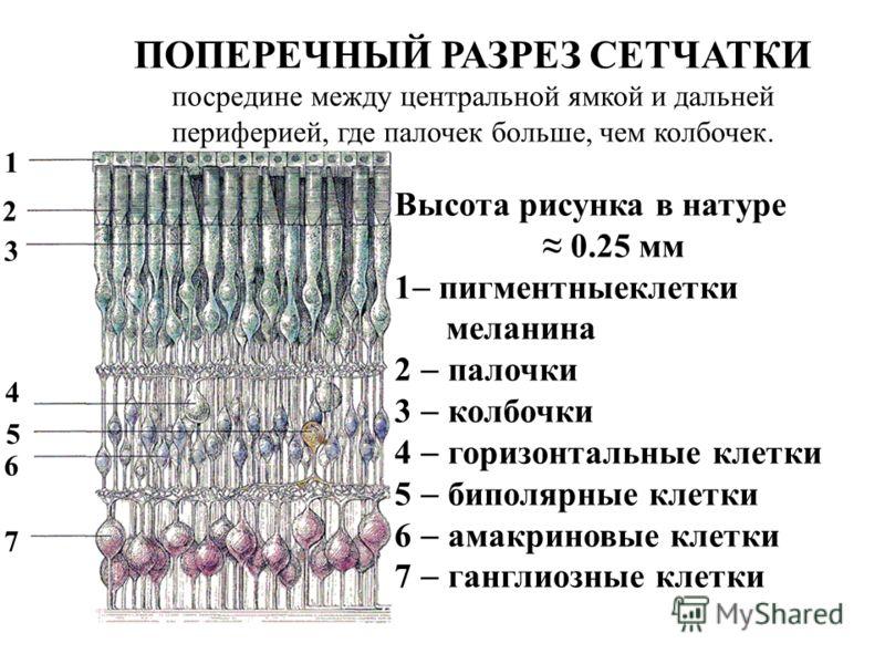 2 3 4 5 6 7 1 Высота рисунка в натуре 0.25 мм 1 пигментныеклетки меланина 2 палочки 3 колбочки 4 горизонтальные клетки 5 биполярные клетки 6 амакриновые клетки 7 ганглиозные клетки ПОПЕРЕЧНЫЙ РАЗРЕЗ СЕТЧАТКИ посредине между центральной ямкой и дальне