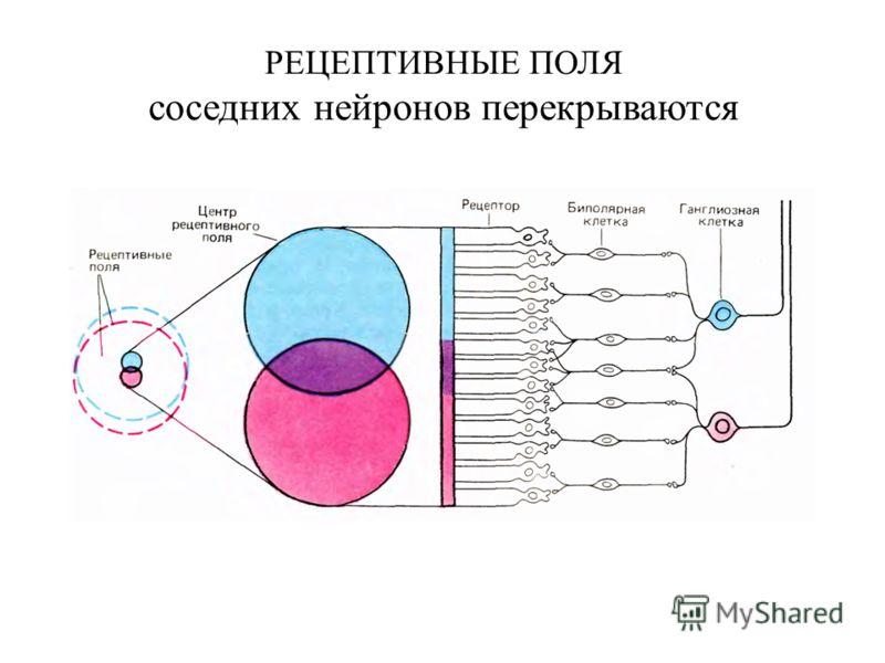 РЕЦЕПТИВНЫЕ ПОЛЯ соседних нейронов перекрываются