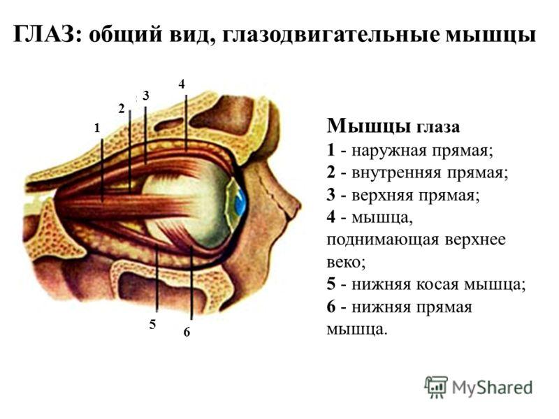 Мышцы глаза 1 - наружная прямая; 2 - внутренняя прямая; 3 - верхняя прямая; 4 - мышца, поднимающая верхнее веко; 5 - нижняя косая мышца; 6 - нижняя прямая мышца. ГЛАЗ: общий вид, глазодвигательные мышцы 2 3 4 6 5 1