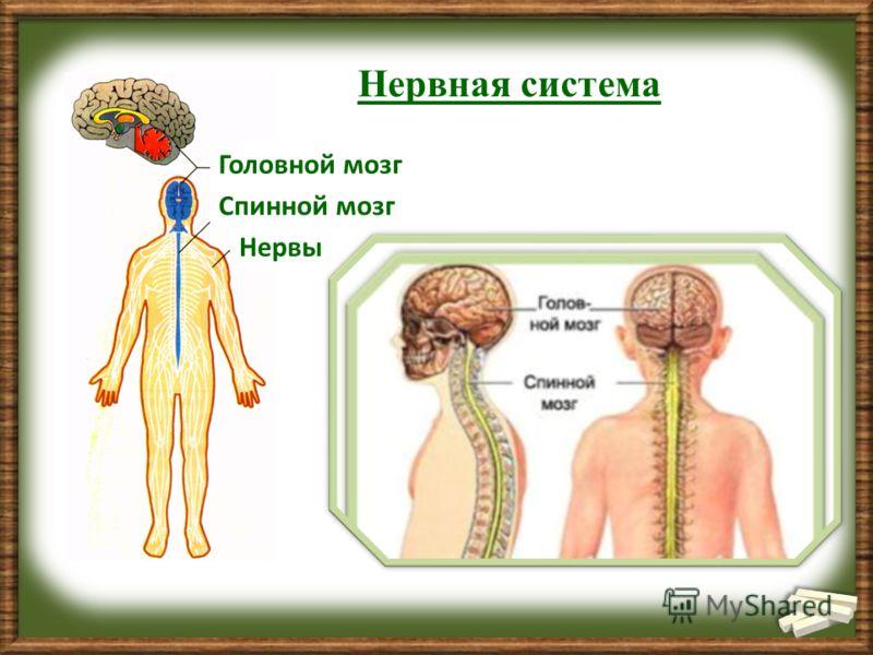 Нервная система Головной мозг Спинной мозг Нервы