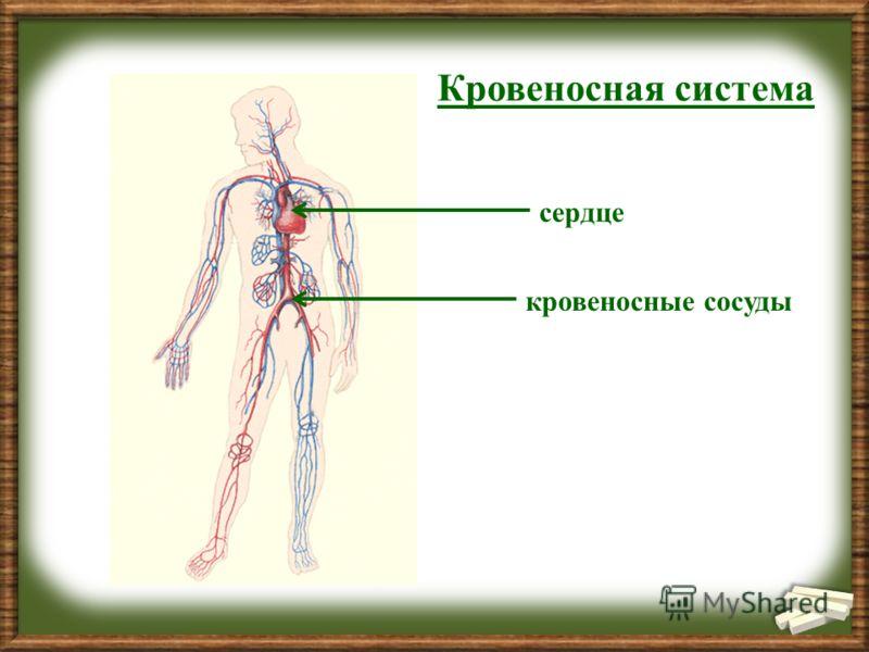 Кровеносная система сердце кровеносные сосуды
