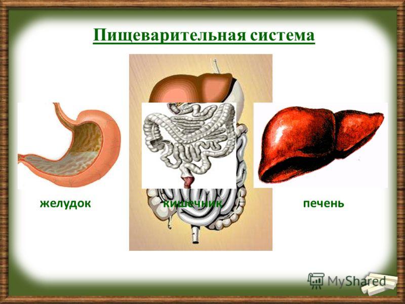 желудоккишечникпечень Пищеварительная система