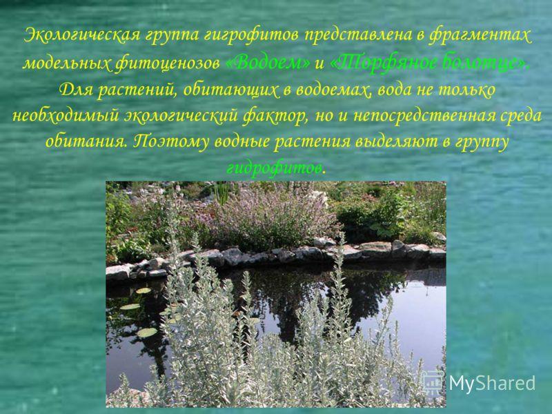 Экологическая группа гигрофитов представлена в фрагментах модельных фитоценозов «Водоем» и «Торфяное болотце». Для растений, обитающих в водоемах, вода не только необходимый экологический фактор, но и непосредственная среда обитания. Поэтому водные р