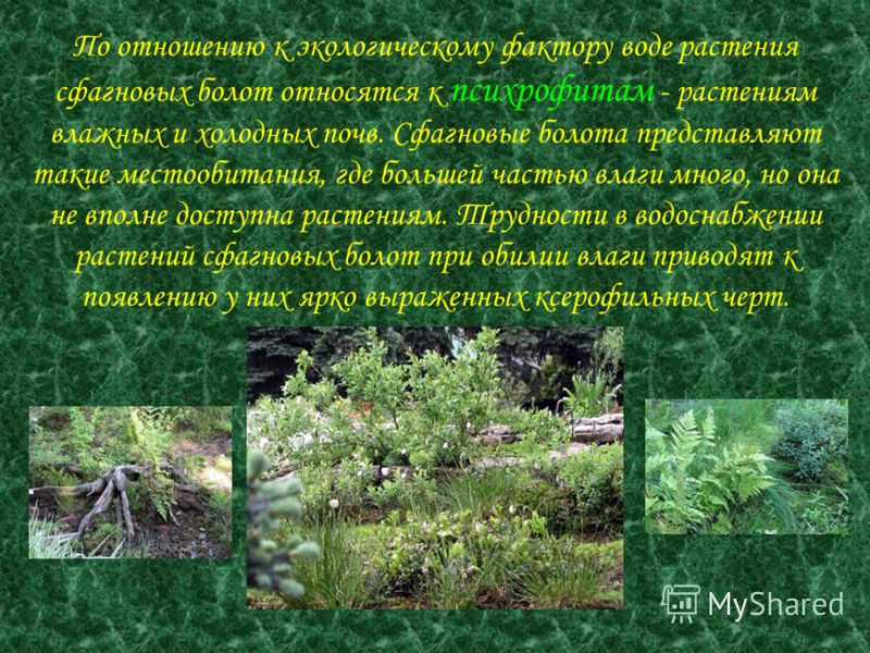 По отношению к экологическому фактору воде растения сфагновых болот относятся к психрофитам - растениям влажных и холодных почв. Сфагновые болота представляют такие местообитания, где большей частью влаги много, но она не вполне доступна растениям. Т