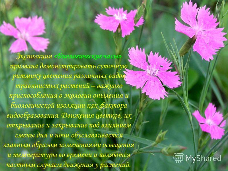Экспозиция «Биологические часы» призвана демонстрировать суточную ритмику цветения различных видов травянистых растений – важного приспособления в экологии опыления и биологической изоляции как фактора видообразования. Движения цветков, их открывание