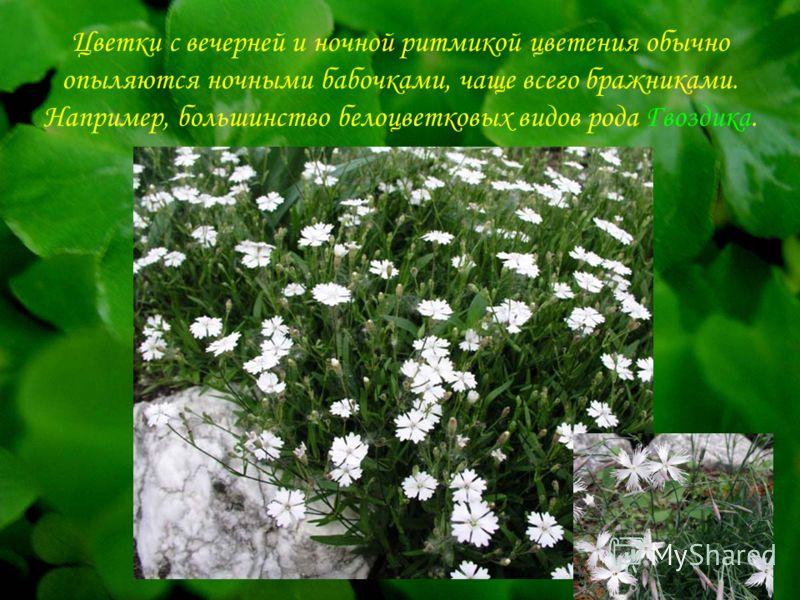 Цветки с вечерней и ночной ритмикой цветения обычно опыляются ночными бабочками, чаще всего бражниками. Например, большинство белоцветковых видов рода Гвоздика.