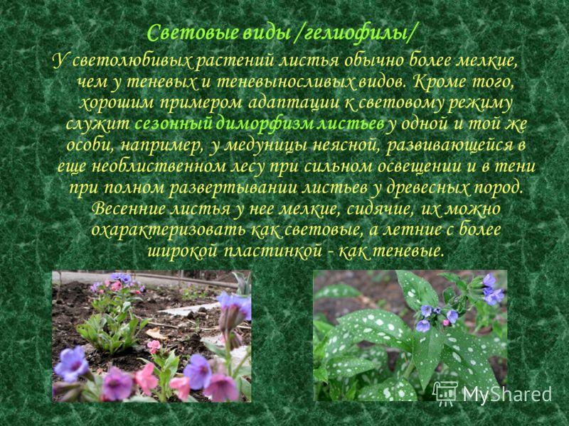 У светолюбивых растений листья обычно более мелкие, чем у теневых и теневыносливых видов. Кроме того, хорошим примером адаптации к световому режиму служит сезонный диморфизм листьев у одной и той же особи, например, у медуницы неясной, развивающейся