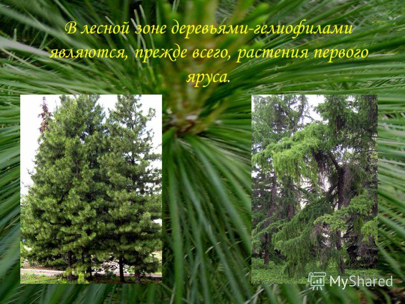 В лесной зоне деревьями-гелиофилами являются, прежде всего, растения первого яруса.