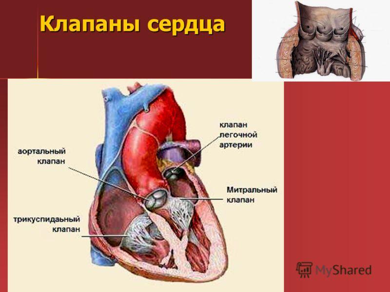 Клапаны сердца