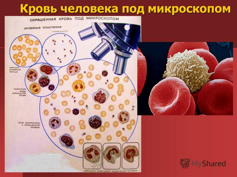 Кровь человека под микроскопом