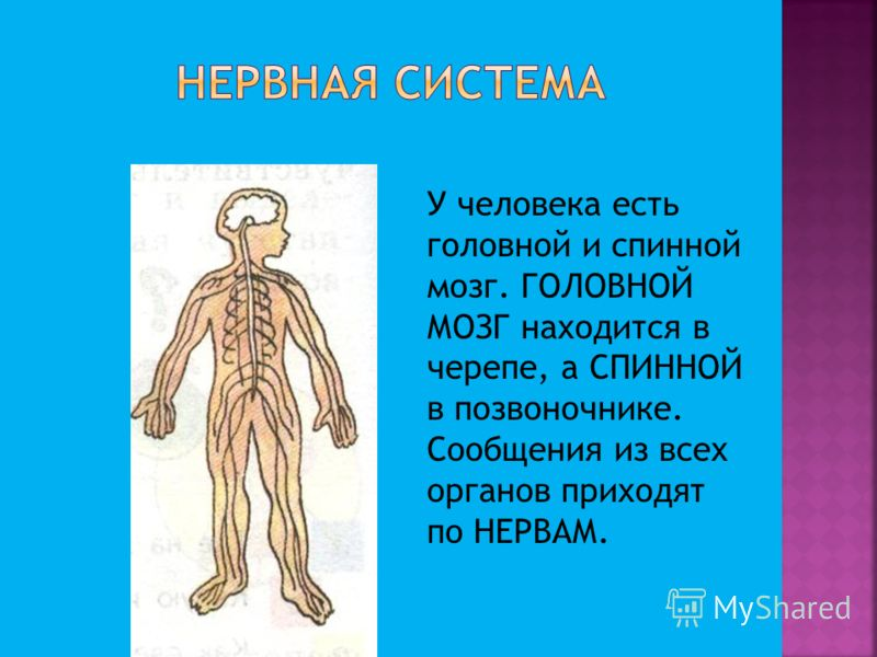 У человека есть головной и спинной мозг. ГОЛОВНОЙ МОЗГ находится в черепе, а СПИННОЙ в позвоночнике. Сообщения из всех органов приходят по НЕРВАМ.