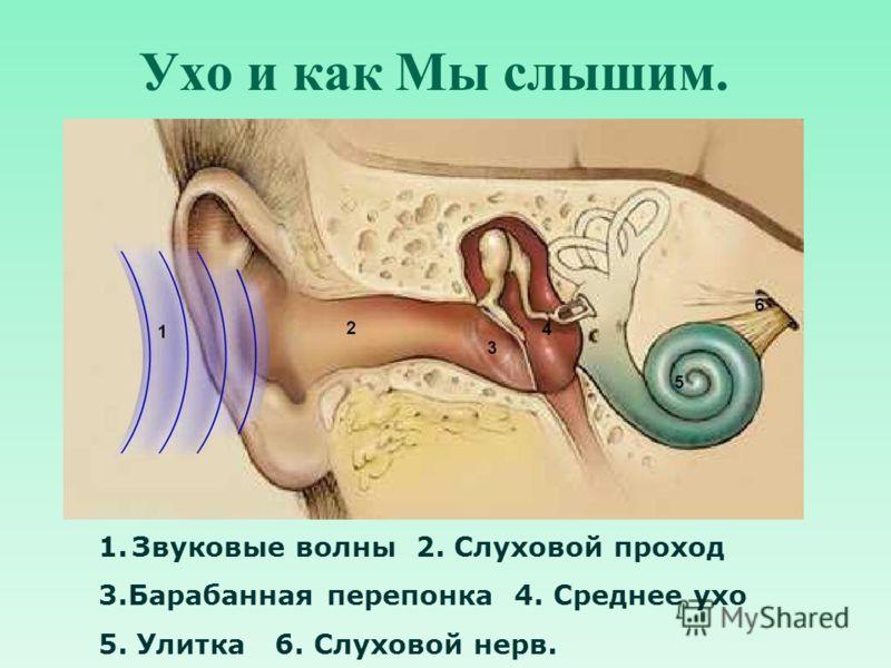 Ухо и как Мы слышим. 1.Звуковые волны 2. Слуховой проход 3.Барабанная перепонка 4. Среднее ухо 5. Улитка 6. Слуховой нерв.
