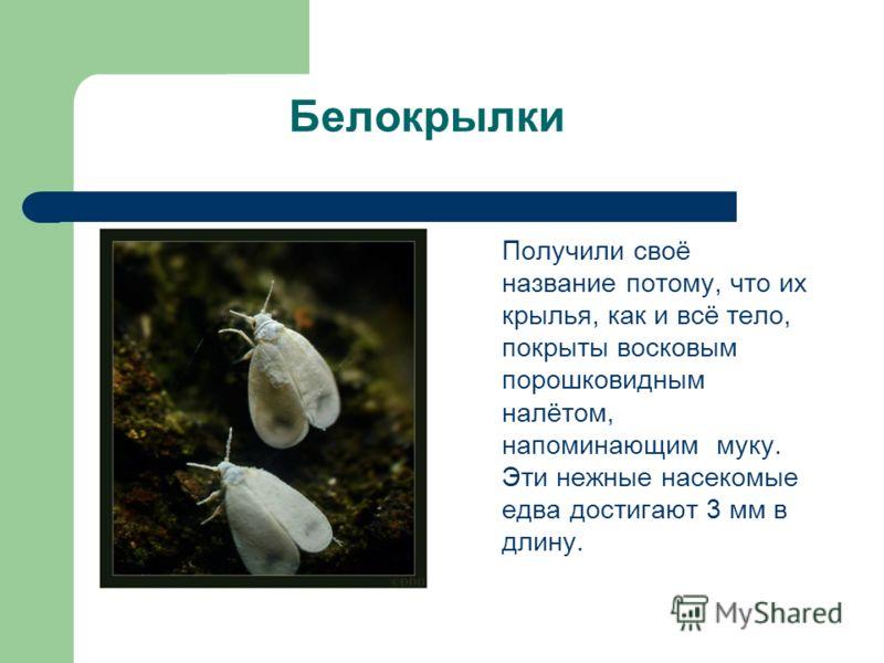 Белокрылки Получили своё название потому, что их крылья, как и всё тело, покрыты восковым порошковидным налётом, напоминающим муку. Эти нежные насекомые едва достигают 3 мм в длину.