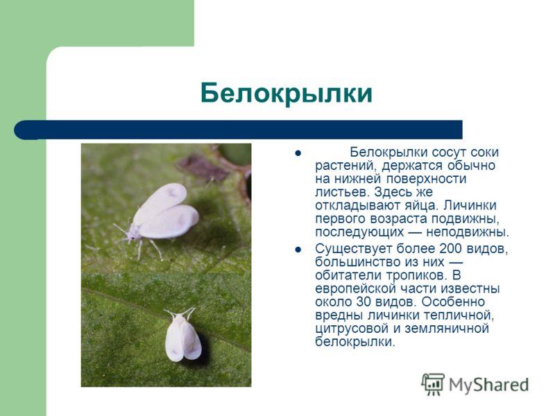 Белокрылки Белокрылки сосут соки растений, держатся обычно на нижней поверхности листьев. Здесь же откладывают яйца. Личинки первого возраста подвижны, последующих неподвижны. Существует более 200 видов, большинство из них обитатели тропиков. В европ