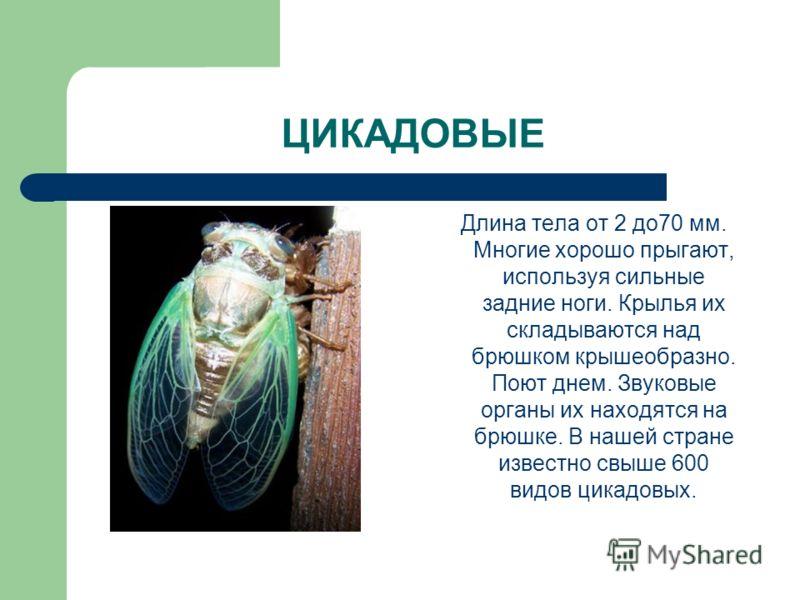 ЦИКАДОВЫЕ Длина тела от 2 до70 мм. Многие хорошо прыгают, используя сильные задние ноги. Крылья их складываются над брюшком крышеобразно. Поют днем. Звуковые органы их находятся на брюшке. В нашей стране известно свыше 600 видов цикадовых.