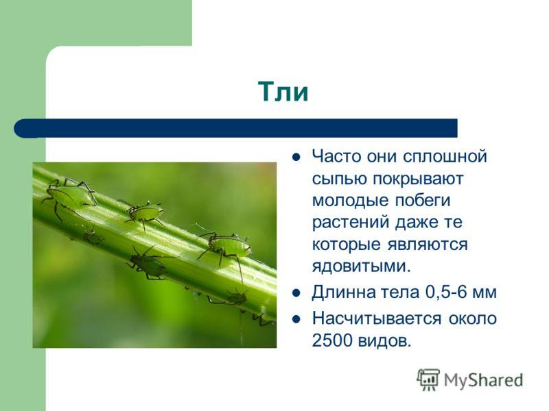Тли Часто они сплошной сыпью покрывают молодые побеги растений даже те которые являются ядовитыми. Длинна тела 0,5-6 мм Насчитывается около 2500 видов.