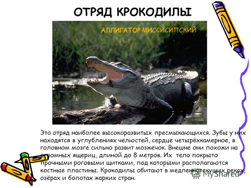 ОТРЯД КРОКОДИЛЫ Это отряд наиболее высокоразвитых пресмыкающихся. Зубы у них находятся в углублениях челюстей, сердце четырёхкамерное, в головном мозге сильно развит мозжечок. Внешне они похожи на огромных ящериц, длиной до 8 метров. Их тело покрыто