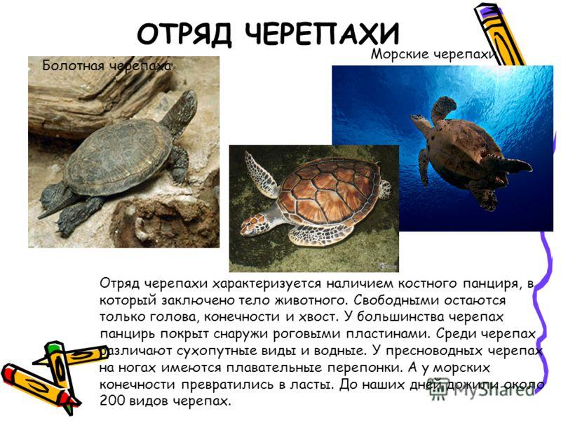 ОТРЯД ЧЕРЕПАХИ Отряд черепахи характеризуется наличием костного панциря, в который заключено тело животного. Свободными остаются только голова, конечности и хвост. У большинства черепах панцирь покрыт снаружи роговыми пластинами. Среди черепах различ